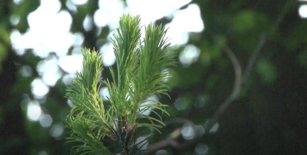 Nadeln eines Nadelbaums